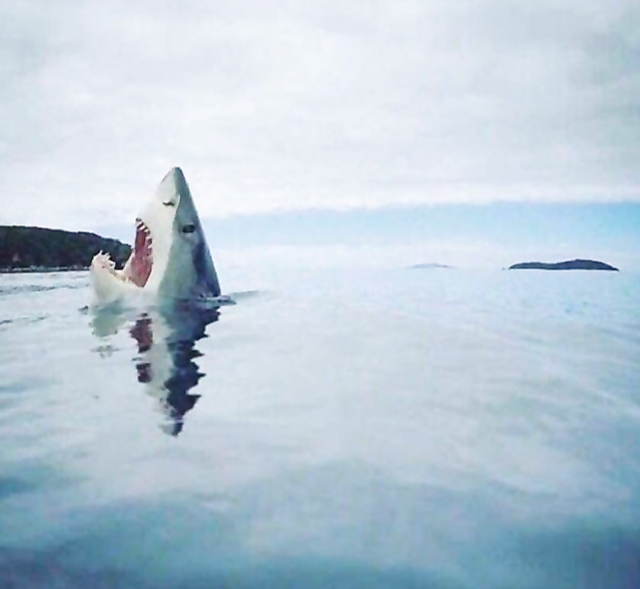Rare image of shark stepping on a lego