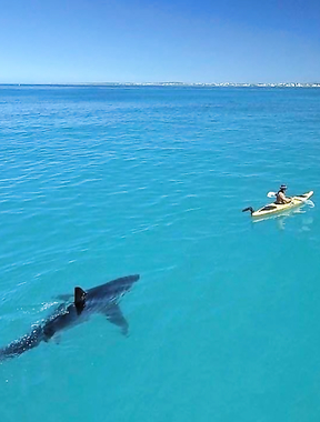 Kayaking with a Great White (Black) Shark.