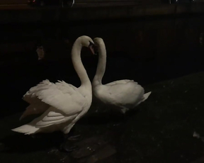 Swans are the most beautiful birds.