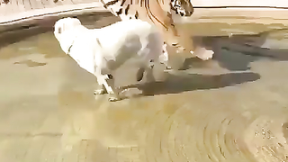 A tiger, lion and dog can be friends.