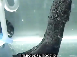 Seahorse ready to give birth.