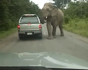 Elefant looks for food in pickup.