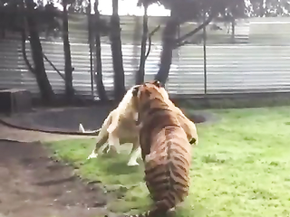 Tiger already knows not to f*** with the king.