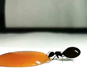 It's that Australian honey ant