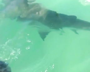 Big sharks feeding.