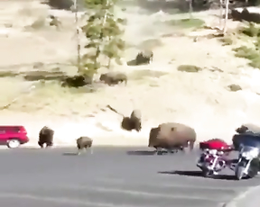 Aww all this bison big and beautiful nature.