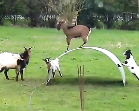Goats having fun.
