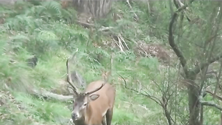 roaring red stag called in under few metres!