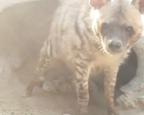 Those hyena babies are so cute!