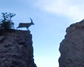 Goat's have no fear.