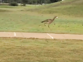 This is hilarious! A road runner bird.