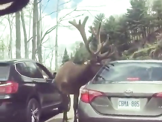 ELK GREETS TOURISTS IN CANADA & GETS A TREAT