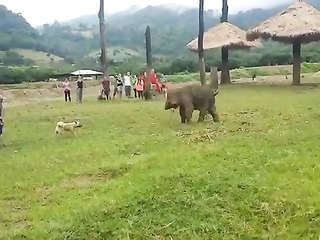 Baby Elephant Gets Frustrated After Chasing A Dog
