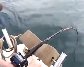 Shark Steals Fish off Fisherman's Line.