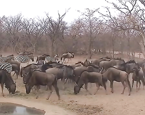 Did a zebra kicked that cow in the head?!