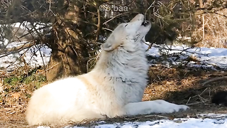 Amazing song of the wolf's.