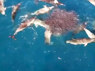 Dolphins lunch time.