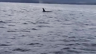 In a rare and spectacular recording conversation between killer whales.