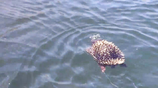 Echidna Spotted Paddling and Blowing Bubbles in Tasmanian River.