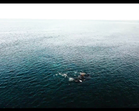 Amazing video Southern Right Whales in Argentina.
