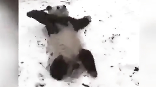 Most dramatic panda ever.