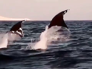 Flying Stingrays. Amazing!