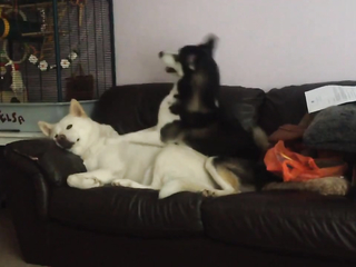 Funny Huskies playing
