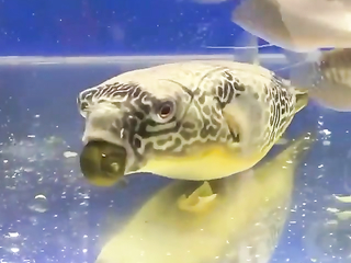 Is this a green puffer?