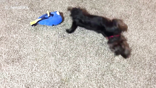 Cute puppy thinks he is Dory the fish