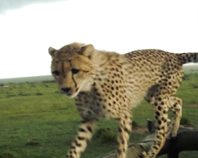 Cheetah Fail