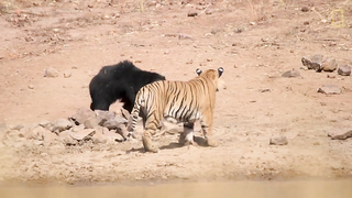 Mother Bear Fights Tiger to Save Her Cub in Dramatic Video   Nat Geo Wild