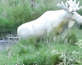 This is a rare albino moose.