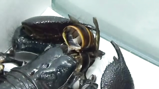 Giant Hornet vs Scorpion