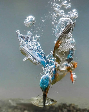 King Fisher doin what he does .