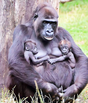 Mother gorilla with her babies twice