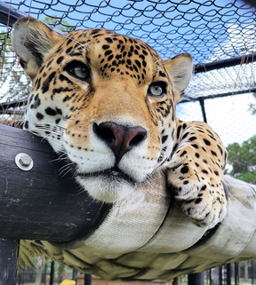 Jaguars have the strongest jaw muscles of all of the big cats. Their bite force is around 200 pounds