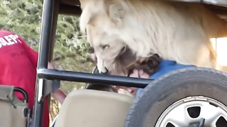 Lion in the tourists car.