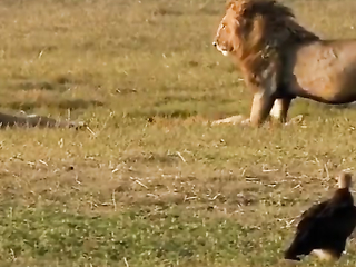 Lions attack! Lionesses defend their cubs against..