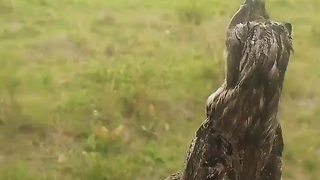 Tawny frogmouth is such an amazing bird!