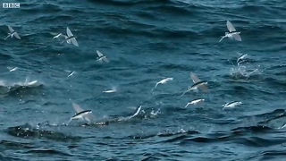 Flying Fish 2.