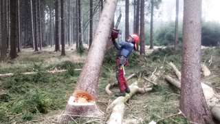 VERY DANGEROUS Tree felling.