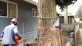Awesome slow motion tree felling/ removal