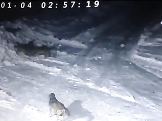 7 wolves attack 2 kangal dogs