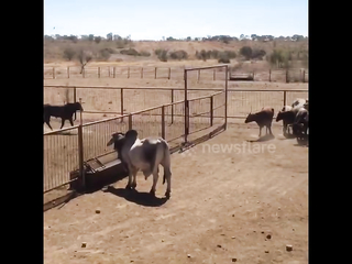 Bull leaps over 7ft high fence