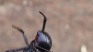 Why the Male Black Widow is a Real....