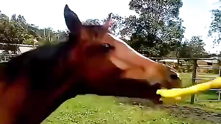 Horse vs. Rubber chicken