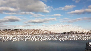 Thousands of white geese. Amazing