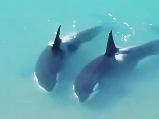 Orcas try to save seal stuck on the beach.