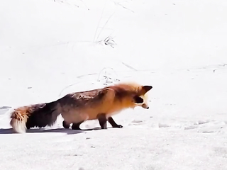 fox jumping into the snow to catch a meal.