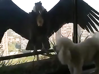 That dog should be so lucky, the condor would easily eat it.